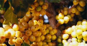 Mogiana Coffee yellow bourbon cherries